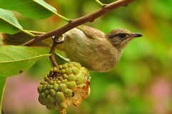 Streak-eared Bulbul Royalty Free Stock Photos