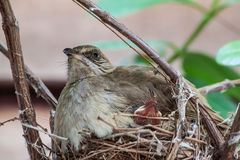 Streak-eared Bulbul Stock Photography