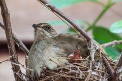 Streak-eared Bulbul. On bird nest and squab Stock Photography
