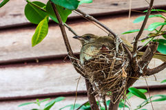Streak-eared Bulbul on bird nest and squab Royalty Free Stock Photos