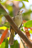 Streak-eared bulbul bird perching on tree branch in the garden, Stock Photography