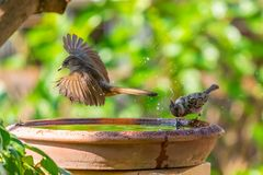 A Streak-eared Bulbul flying by a bowl of water while a sparrow spinning its head royalty free stock photos