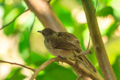 Streak-eared Bulbul Royalty Free Stock Images