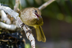 Streak-eared Bulbul (Pycnonotus blanfordi). Royalty Free Stock Photography
