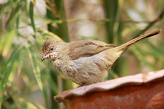 Streak-eared Bulbul. The Streak-eared Bulbul (Pycnonotus blanfordi) is a species of songbird in the Pycnonotidae family. It is found in Cambodia, Laos, Malaysia Royalty Free Stock Photo