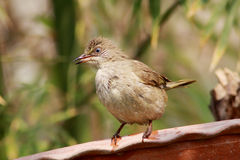 Streak-eared Bulbul. The Streak-eared Bulbul (Pycnonotus blanfordi) is a species of songbird in the Pycnonotidae family. It is found in Cambodia, Laos, Malaysia Royalty Free Stock Images