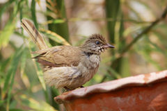 Streak-eared Bulbul. The Streak-eared Bulbul (Pycnonotus blanfordi) is a species of songbird in the Pycnonotidae family. It is found in Cambodia, Laos, Malaysia Stock Images