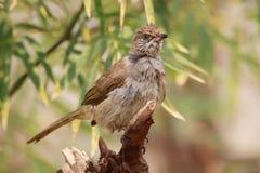 Streak-eared Bulbul. The Streak-eared Bulbul (Pycnonotus blanfordi) is a species of songbird in the Pycnonotidae family. It is found in Cambodia, Laos, Malaysia Stock Photo