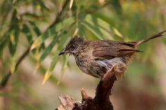 Streak-eared Bulbul. The Streak-eared Bulbul (Pycnonotus blanfordi) is a species of songbird in the Pycnonotidae family. It is found in Cambodia, Laos, Malaysia Stock Photography
