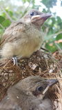 The streak-eared bulbul (Pycnonotus blanfordi) Royalty Free Stock Photos