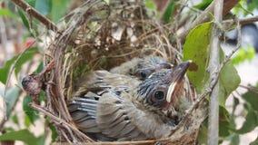 The streak-eared bulbul (Pycnonotus blanfordi) Stock Photo