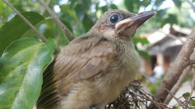 The streak-eared bulbul (Pycnonotus blanfordi) Stock Photos