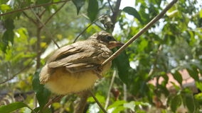 The streak-eared bulbul (Pycnonotus blanfordi) Stock Images
