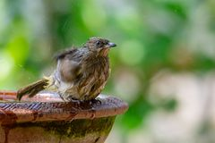 Streak-eared Bulbul taking a bath isolated on blur green bush background. Chiang Mai, Thailand stock images
