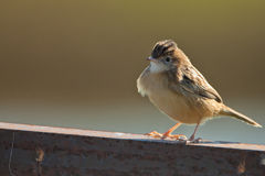 A Streaked Fan-tailed Warbler on a fence Stock Photography