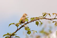 Streaked Fantail Warbler (Cisticola juncidis) Stock Images
