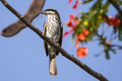 Streaked Flycatcher Stock Photography