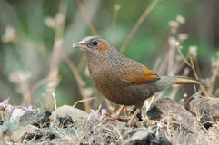 Streaked Laughingthrush, Garrulax lineatus Stock Photography