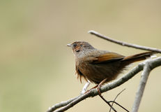 Streaked laughingthrush sitting on branch Royalty Free Stock Photography