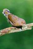 Streaked laughingthrush Royalty Free Stock Photos