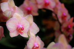 Streaked orchid flowers. Beautiful orchid flowers Stock Images