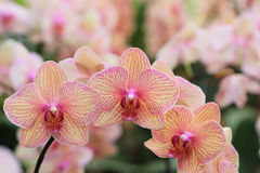 Streaked orchid flowers. Beautiful orchid flowers Stock Image