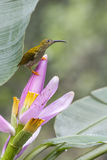 Streaked Spiderhunter Royalty Free Stock Photography