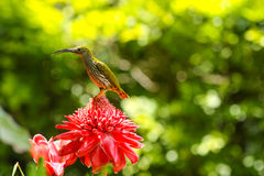 Streaked Spiderhunter bird Royalty Free Stock Image