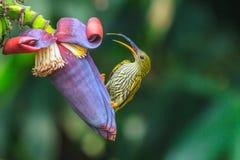 Streaked Spiderhunter bird Stock Photography