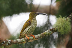 Streaked Spiderhunter. A streaked spiderhunter poses at Fraser's Hill in Malaysia Royalty Free Stock Photo
