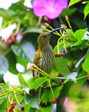 Streaked spiderhunter Royalty Free Stock Image