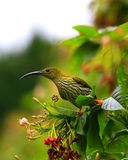 Streaked spiderhunter Stock Photos