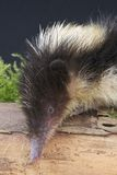 Streaked tenrec Stock Photos