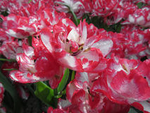 Streaked tulips with droplets in spring Royalty Free Stock Photography