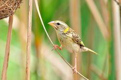 Streaked Weaver (bird). Streaked Weaver bird of thailand background Stock Photography