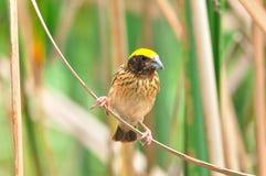 Streaked Weaver (bird). Streaked Weaver bird of thailand background Stock Image