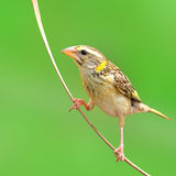 Streaked Weaver bird Royalty Free Stock Image