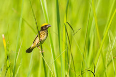 Streaked Weaver  (Ploceus manyar) Royalty Free Stock Photos