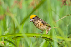 Streaked Weaver Stock Photo