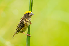 Streaked Weaver. (Ploceus manyar) in nature at Phetchaburi in Thailand Stock Images