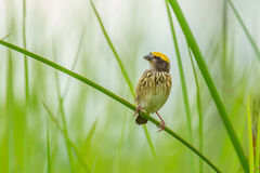 Streaked Weaver Royalty Free Stock Images