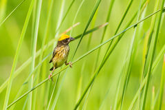 Streaked Weaver (Ploceus manyar). In nature in Thailand Royalty Free Stock Images