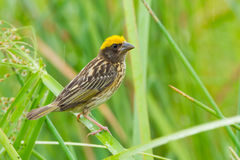 Streaked Weaver (Ploceus manyar) Stock Photo