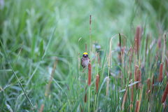 Streaked Weaver Royalty Free Stock Image
