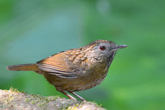 Streaked Wren Babbler bird Stock Images
