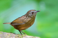 Streaked Wren Babbler Royalty Free Stock Photos