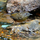 Streaked Wren Babbler Stock Photography