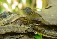 Streaked Wren Babbler (Napothera brevicaudata) Royalty Free Stock Photos