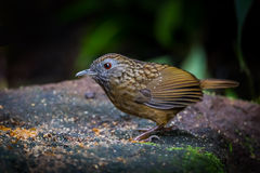 Streaked Wren Babbler Stock Photo