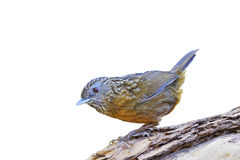 Streaked Wren Babbler Royalty Free Stock Images